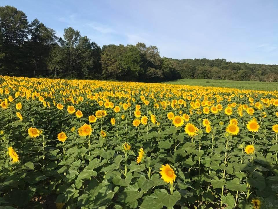 """<p>Every August and September, the <a href=""""http://www.sussexcountysunflowermaze.com/"""" rel=""""nofollow noopener"""" target=""""_blank"""" data-ylk=""""slk:Liberty Farm"""" class=""""link rapid-noclick-resp"""">Liberty Farm</a> grows over 1.5 million sunflowers in their Sandyston, New Jersey, field, making it the state's largest sunflower destination. Head to the <a href=""""https://go.redirectingat.com?id=74968X1596630&url=https%3A%2F%2Fwww.tripadvisor.com%2FAttraction_Review-g8642686-d8639193-Reviews-Sussex_County_Sunflower_Maze-Sandyston_New_Jersey.html&sref=https%3A%2F%2Fwww.countryliving.com%2Flife%2Ftravel%2Fg21937858%2Fsunflower-fields-near-me%2F"""" rel=""""nofollow noopener"""" target=""""_blank"""" data-ylk=""""slk:Sussex County Sunflower Maze"""" class=""""link rapid-noclick-resp"""">Sussex County Sunflower Maze</a> for a day of outdoor activities, like scavenger hunts and build-your-own scarecrow, or take advantage of their U-pick field. </p><p><a class=""""link rapid-noclick-resp"""" href=""""https://go.redirectingat.com?id=74968X1596630&url=https%3A%2F%2Fwww.tripadvisor.com%2FTourism-g8642686-Sandyston_New_Jersey-Vacations.html&sref=https%3A%2F%2Fwww.countryliving.com%2Flife%2Ftravel%2Fg21937858%2Fsunflower-fields-near-me%2F"""" rel=""""nofollow noopener"""" target=""""_blank"""" data-ylk=""""slk:PLAN YOUR TRIP"""">PLAN YOUR TRIP</a></p>"""