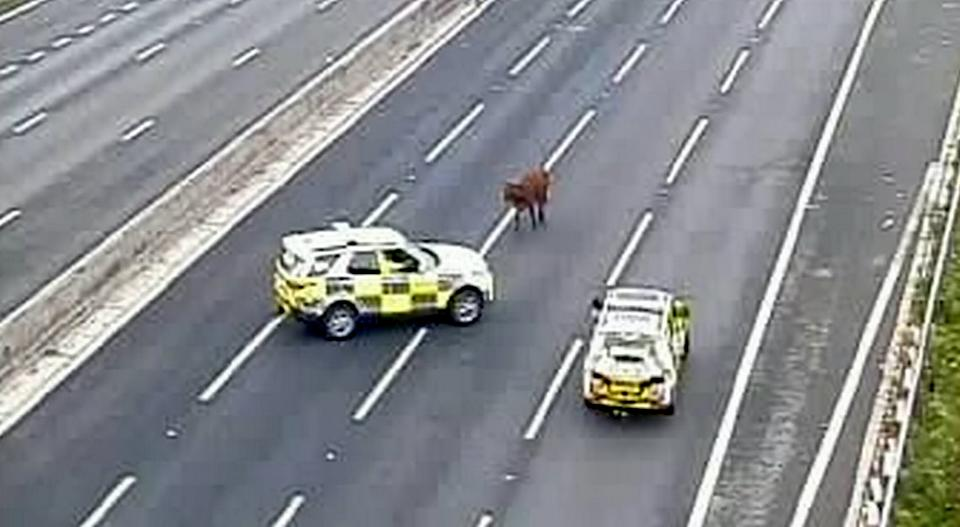A cow was spotted on the M25. (SWNS)
