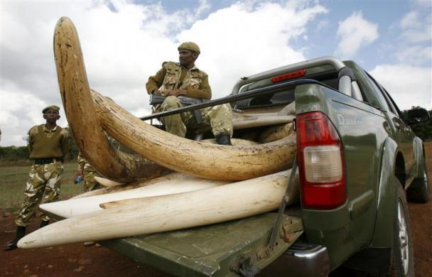 A Kenya Wildlife Services ranger guards a shipment of elephant tusks during a commemoration of the 1989 ivory burning at the Nairobi National Park July 18, 2009.