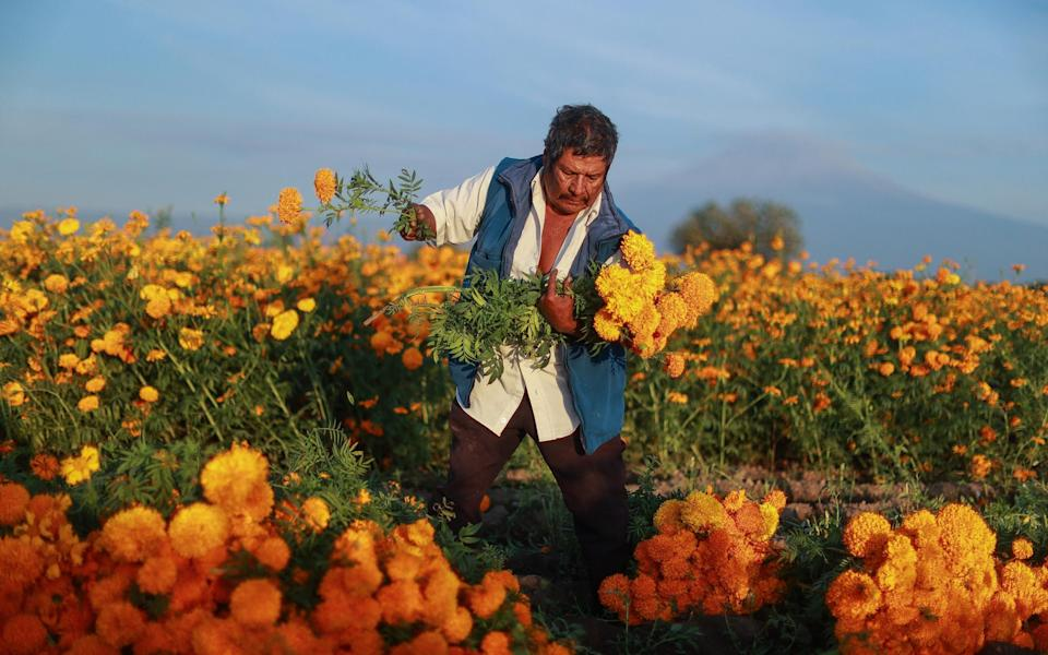 A man harvests marigolds in Atlixco, Mexico, ahead of the Day of the Dead festivities - Getty