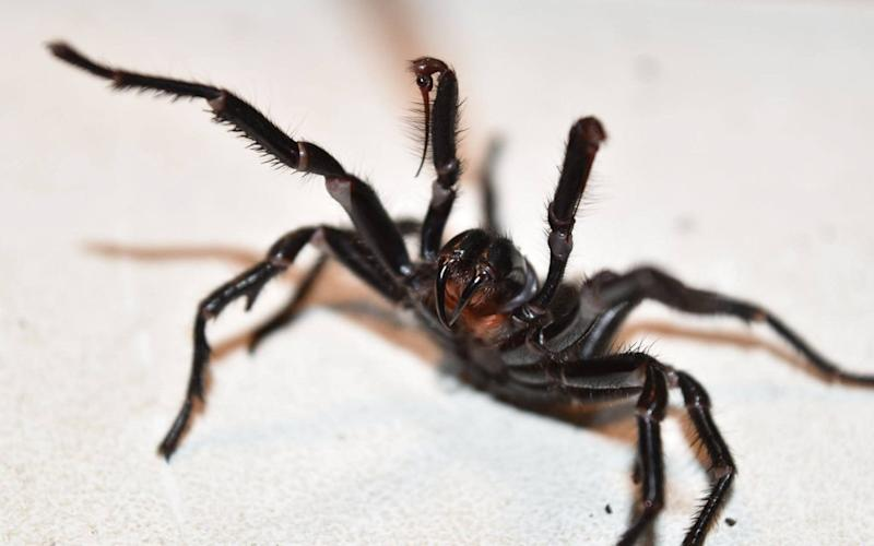 The funnel web spider can kill a human in 15 minutes - EPA