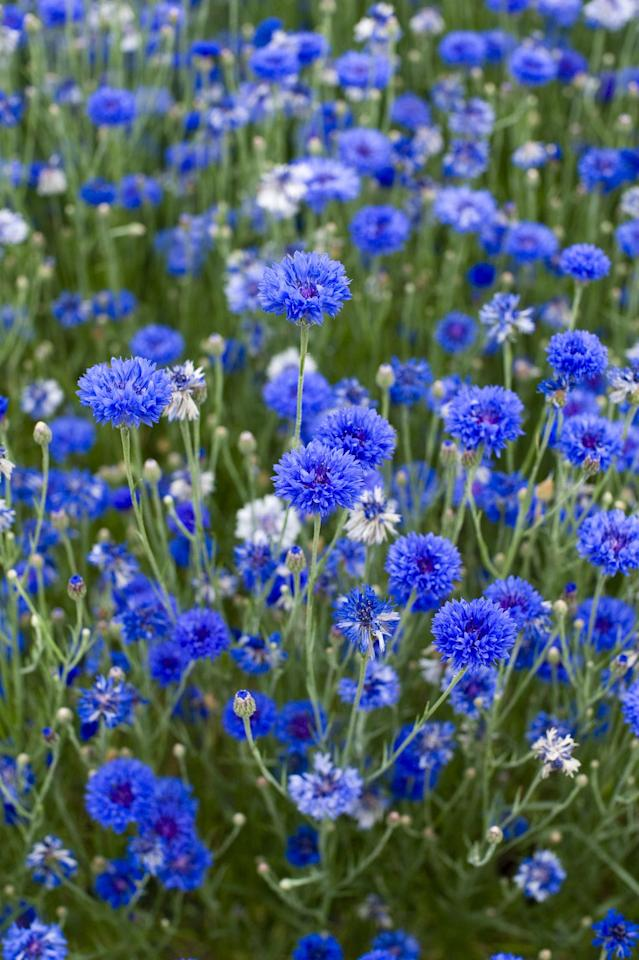 "<p><a rel=""nofollow"" href=""https://www.housebeautiful.com/uk/garden/g20675610/easy-to-grow-herbs-that-bees-will-love/"">Bees</a> love the flowers that rise up on cornflowers' straight stems in early summer, and this plant is unfazed by changeable spring weather. The petals of this quick-growing flower are even edible.</p><p><a rel=""nofollow"" href=""https://www.amazon.co.uk/dp/B00F96OGA0/"">BUY NOW</a></p>"