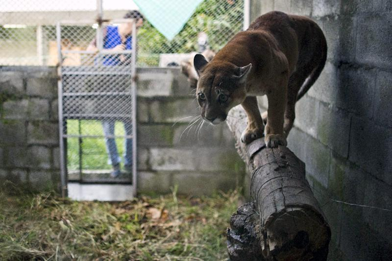 A cougar is rehabilitated at the state environmental agency Corporación Autonoma Regional del Valle del Cauca on March 17, 2015, in Palmira, Colombia, before being returned to the wild in the Amazon (AFP Photo/Luis Robayo)