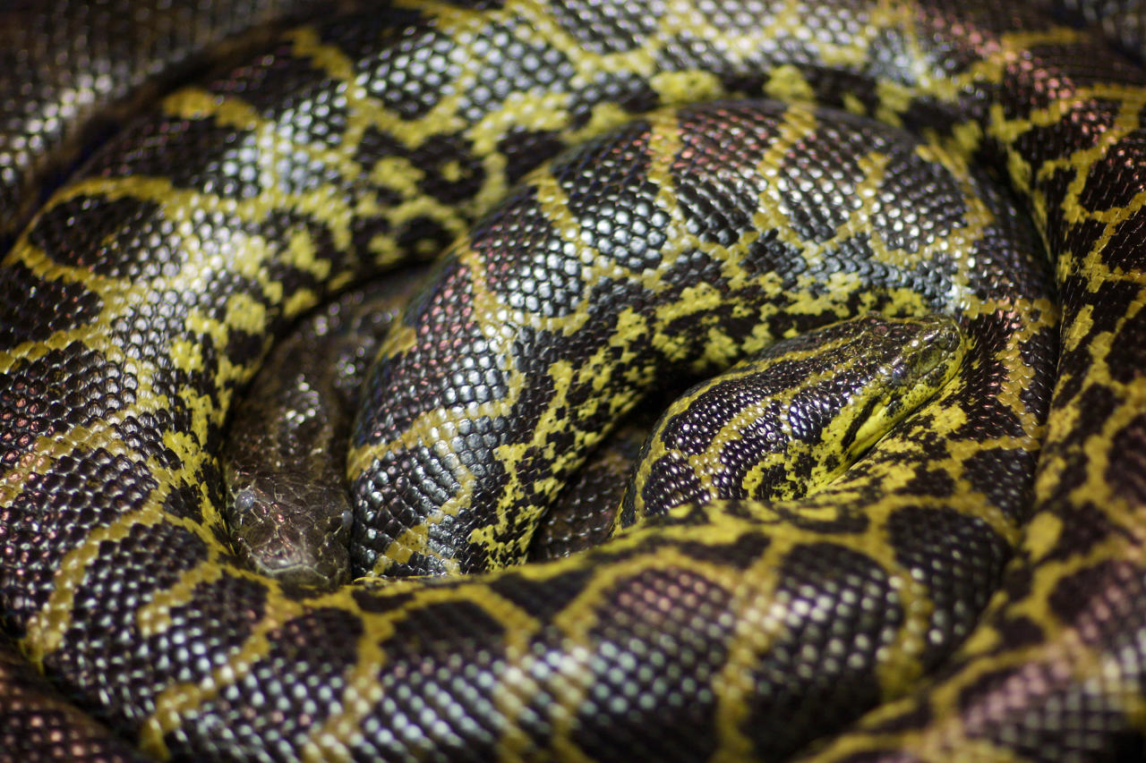 Two Yellow Anacondas (Eunectes Notaeus) are pictured in a terrarium at Berlin zoo December 4, 2007. REUTERS/Hannibal Hanschke (GERMANY)