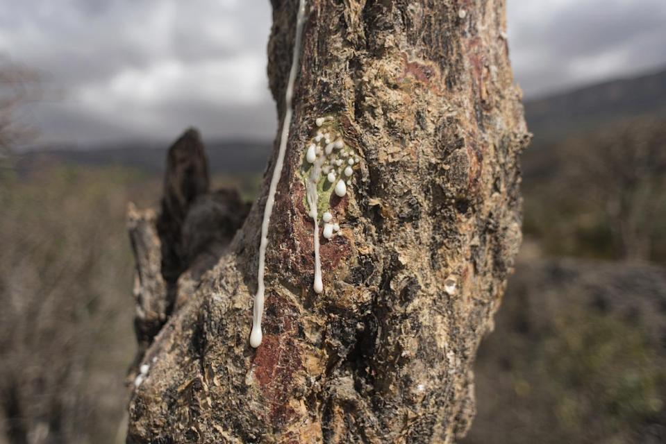 In this Thursday, Aug. 4, 2016 photo, sap runs out of a frankincense tree near Mader Moge, Somaliland, a breakaway region of Somalia. The last wild frankincense forests on Earth are under threat as prices rise with the global appetite for essential oils. Overharvesting has trees dying off faster than they can replenish, putting the ancient resin trade at risk. (AP Photo/Jason Patinkin)