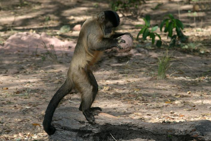 A capuchin monkey breaking open a nut in Brazil (Getty Images/iStockphoto)
