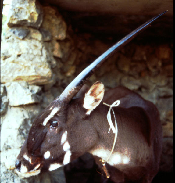 A female saola, captured in 1996.