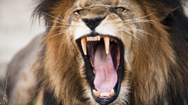 Lions Kill And Eat Suspected Poacher