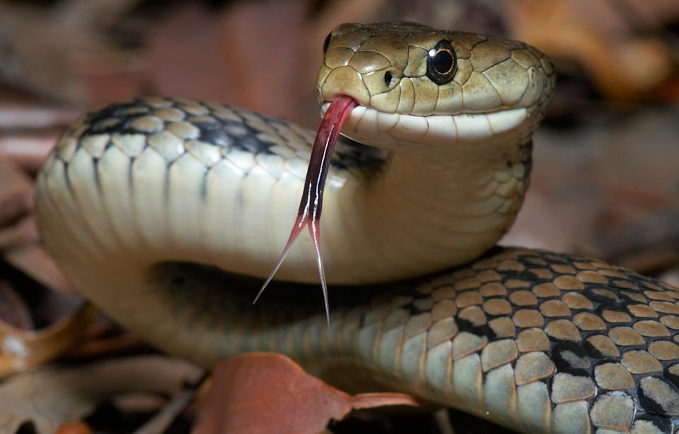 The venomous Australian Rough Scaled Snake with it's forked tongue out.  This is one of the most dangerous snakes and reptiles in the world.