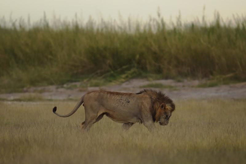 A male lion is pictured at Kenya's Amboseli National Park in June 2018