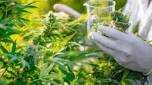 Cannabis chemical may help treat pancreatic cancer, study finds