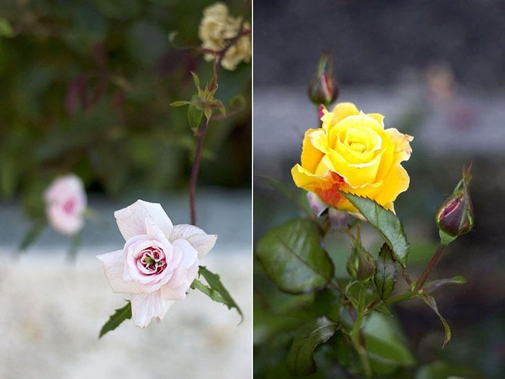 The Lady Norwood Rose Garden has hundreds of different rose cultivars — Pictures by CK Lim