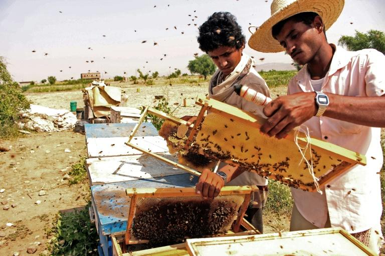 Beekeepers at work producing 'Yemen's gold' in Hajjah province (AFP Photo/ESSA AHMED)