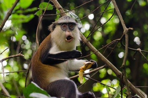 """<span class=""""caption"""">Mona monkeys are among the many species often hunted for food.</span> <span class=""""attribution""""><span class=""""source"""">Neja Hrovat / shutterstock</span></span>"""
