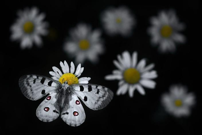 black and white butterfly settles on white daisy