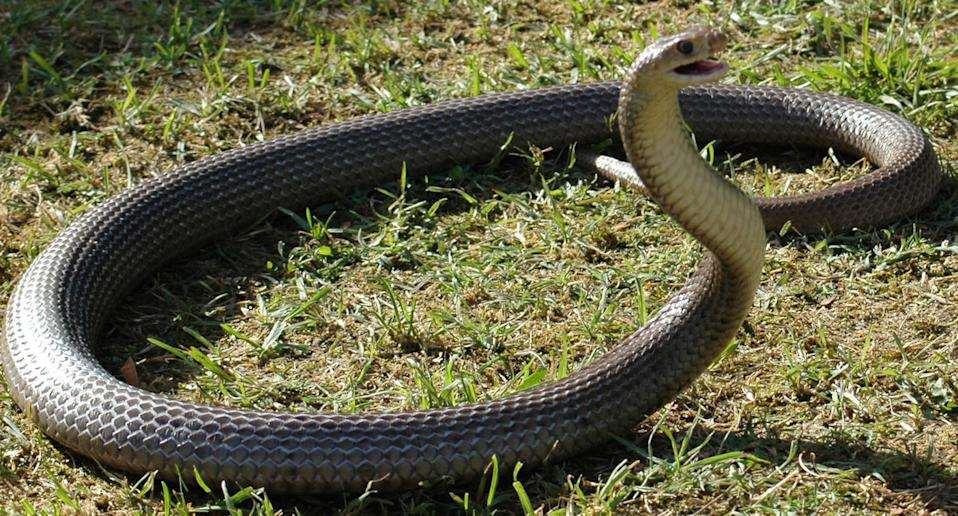 A stock image of a Brown snake found in Cairns