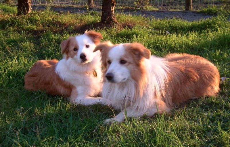 While other dog owners believe shaving their pet's coat can cause serious harm. Pictured are some border collies.