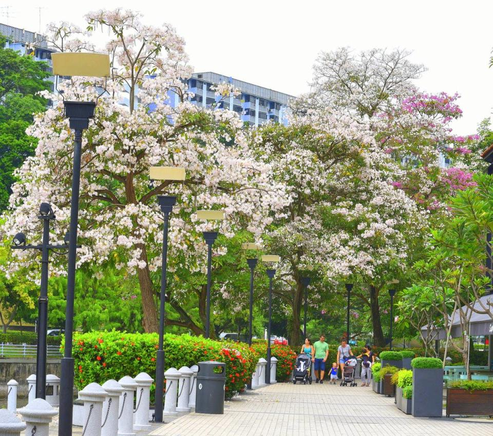 Flowering trumpet trees along the Singapore River. (PHOTO: National Parks Board)