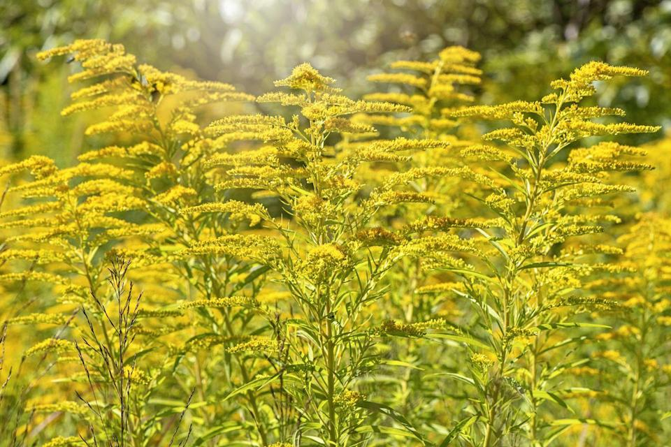 <p>While some view this plant as a weed, others see goldenrod as a vibrant wildflower. The perennial blooms in late summer to fall and does best in USDA Hardiness Zones 3-9.</p>