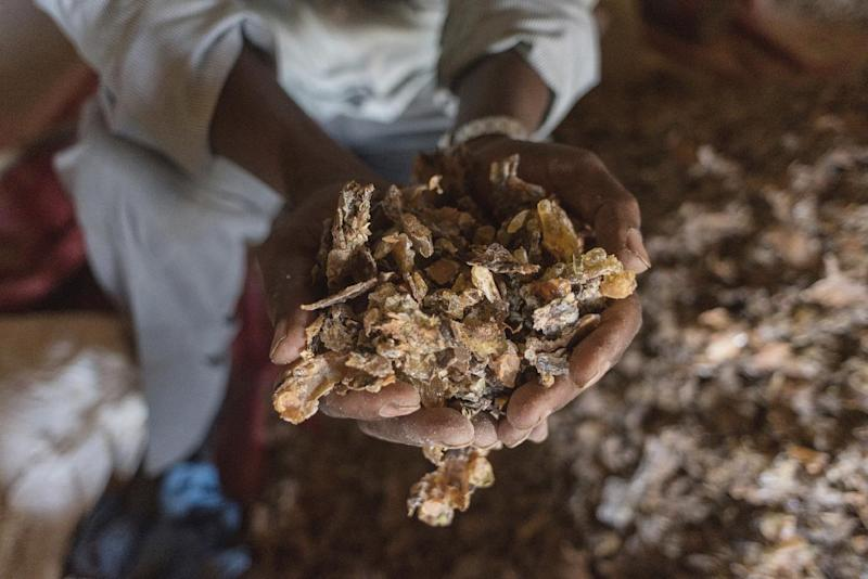 In this Tuesday, Aug. 2, 2016 photo, a frankincense trader holds a handful of raw gum near Gudmo, Somaliland, a breakaway region of Somalia. These last intact wild frankincense forests on Earth are under threat as prices have shot up in recent years with the global appetite for essential oils, and overharvesting has led to the trees dying off faster than they can replenish, putting the ancient resin trade at risk. (AP Photo/Jason Patinkin)