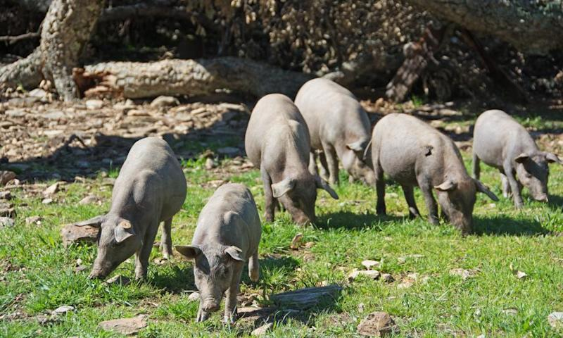 Piglets foraging for acorns in the dehesa.