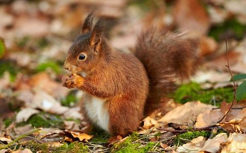 The red squirrel - Credit: getty