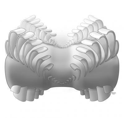 This is a reconstruction of the Odontogriphus mouthparts.