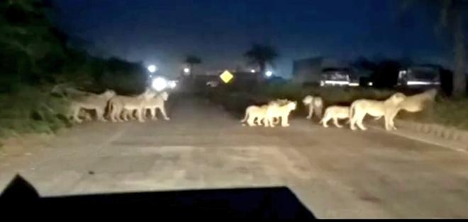 A pride of lions crossing the Pipavav-Rajula highway in Gujarat