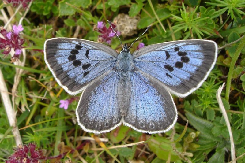 The collector went to protected sites to capture specimens of the Large Blue butterfly (PA)