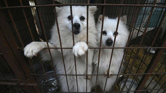 Dogs look out of a cage at a dog farm during a rescue event