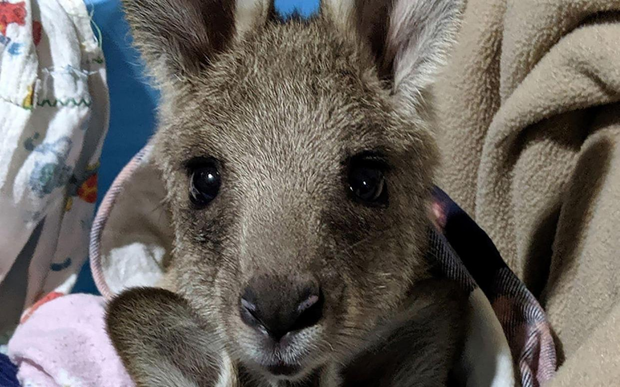 One of the eastern grey kangaroo joeys who were rescued after their mothers were mowed down - AFP