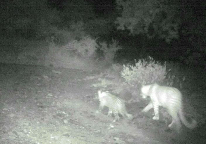Incredible: The first strawberry leopard was spotted and photographed in 2012 in South Africa's Madikwe Game Reserve, more than 500km from the recent sighting. (SWNS)