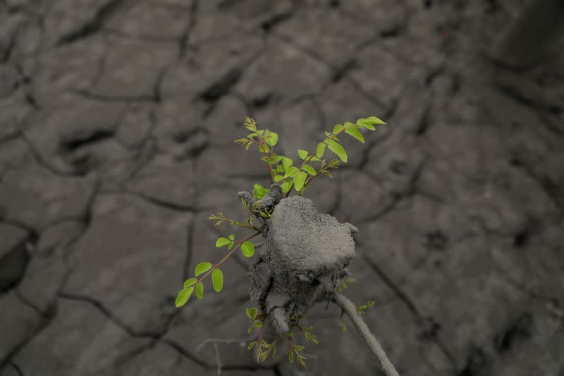 Leaves grow from an ash-covered plant following Taal Volcano's eruption, in Laurel