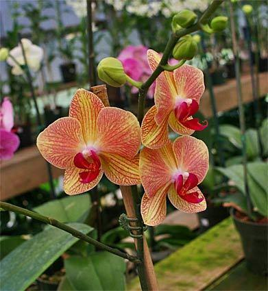"""Another place to see and buy orchids: Gallup & Stribling Orchids in Carpenteria, a major orchid-growing operation. <span class=""""copyright"""">(Tim Hubbard / Los Angeles Times)</span>"""