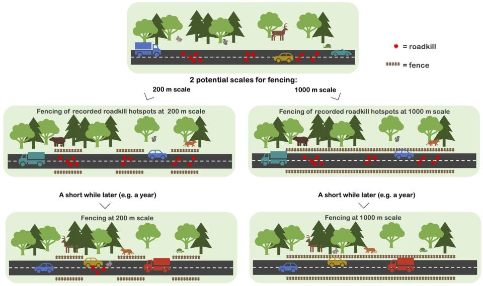 Diagram illustrating how spaces between fences allow new roadkill hot spots to develop