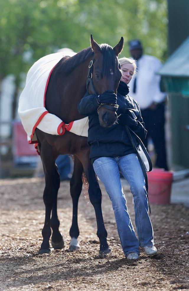 BALTIMORE, MD - MAY 14: Jennifer Patterson walks Kentucky Derby winner Orb outside the stakes barn in preparation for the 138th Preakness Stakes at Pimlico Race Course on May 14, 2013 in Baltimore, Maryland. (Photo by Rob Carr/Getty Images)
