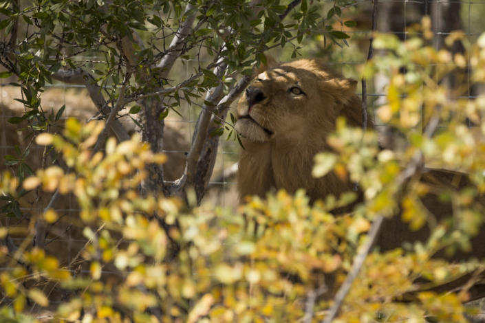 <p>A lion sniffs trees at the Emoya Big Cat Sanctuary on May 1, 2016, in Vaalwater, South Africa. <i>(Dan Kitwood/Getty Images)</i></p><p><i><br></i></p>