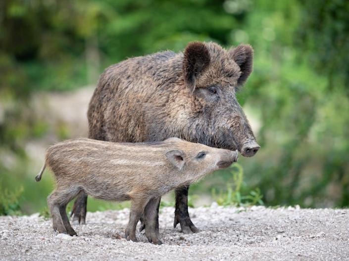 A wild boar with its piglet - known in the UK as 'humbugs' due to their stripes which resemble the boiled sweets of the same name (Getty)