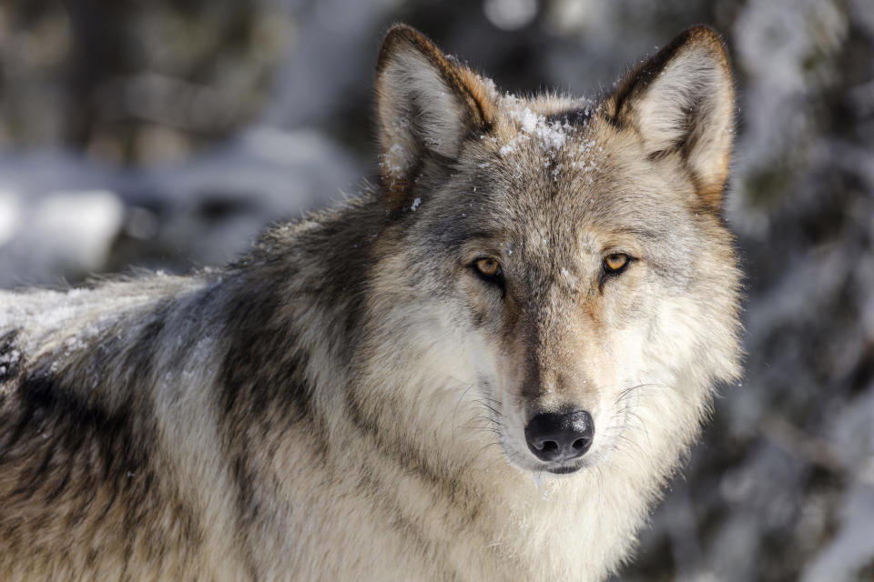 FILE - This Nov. 7, 2017 file photo provided by the National Park Service shows a wolf in Yellowstone National Park, Wyo. Two conservation groups on Wednesday, Aug. 25, 2021 asked the Biden administration to reinstate a federal monitoring program to oversee Idaho's and Montana's management of wolves following changes in wolf hunting laws in the two states intended to drastically reduce wolf numbers. (Jacob W. Frank/National Park Service via AP, File)