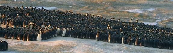 Huddle Up: the Surprising Physics of Penguin Movements