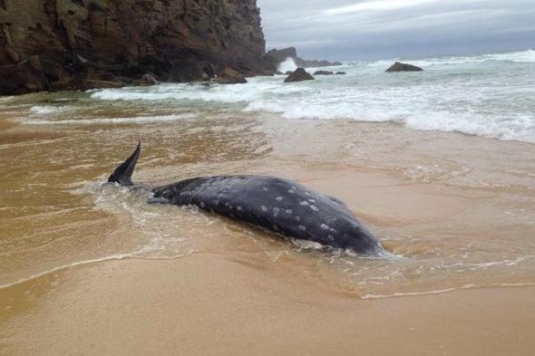 Rare beaked whale washes up on beach in Australia