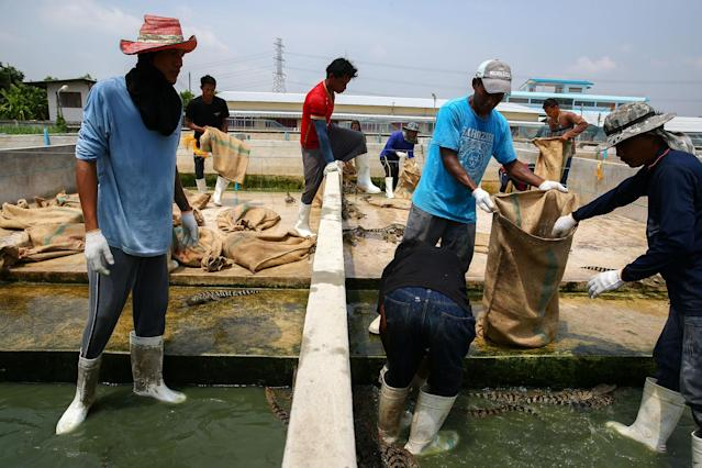 <p>Workers catch young crocodiles and put them into sacks at Sri Ayuthaya Crocodile Farm in Ayutthaya province, Thailand, May 23, 2017. (Photo: Athit Perawongmetha/Reuters) </p>
