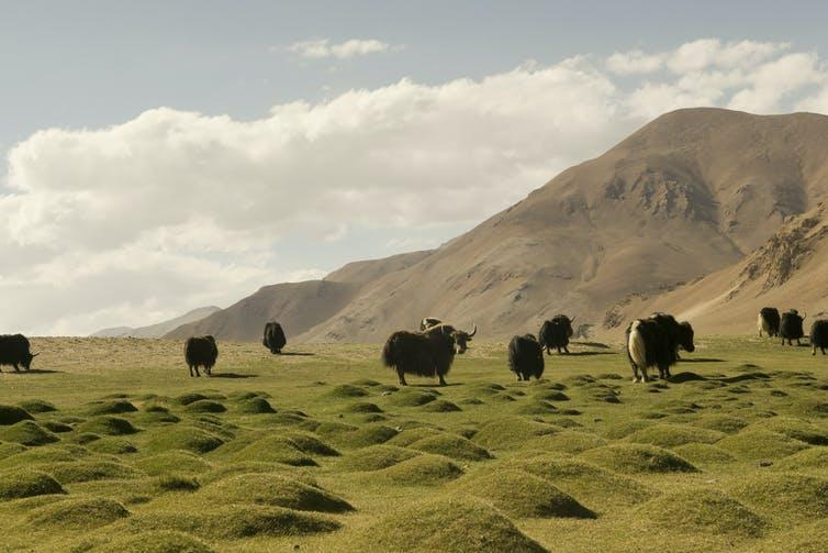 A herd of shaggy cattle with horns spread out on an undulating grassland.