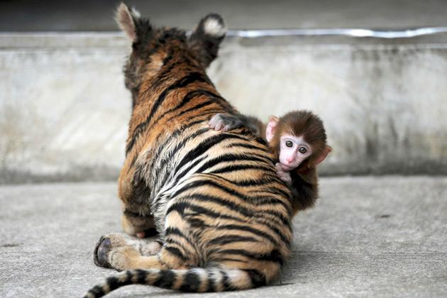 A baby rhesus macaque (Macaca mulatta) looks up as it plays with a tiger cub at a zoo in Hefei, Anhui province, August 2, 2012. REUTERS/Stringer