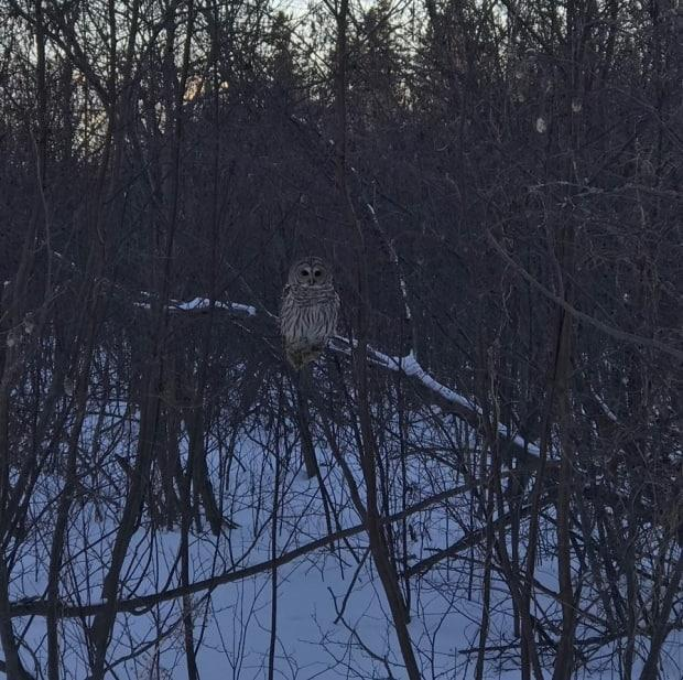 Barred owls like large old trees for habitat.