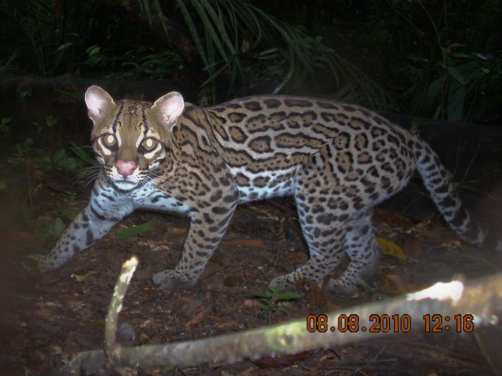 Un ocelot, o Leopardus pardalis, è un felino di taglia media molto territoriale documentato durante il Rapid Assessment Program in southwest Suriname del 2010