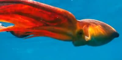 Unusual Offshore Octopods: The Weapon-Wielding Blanket Octopus [Video]