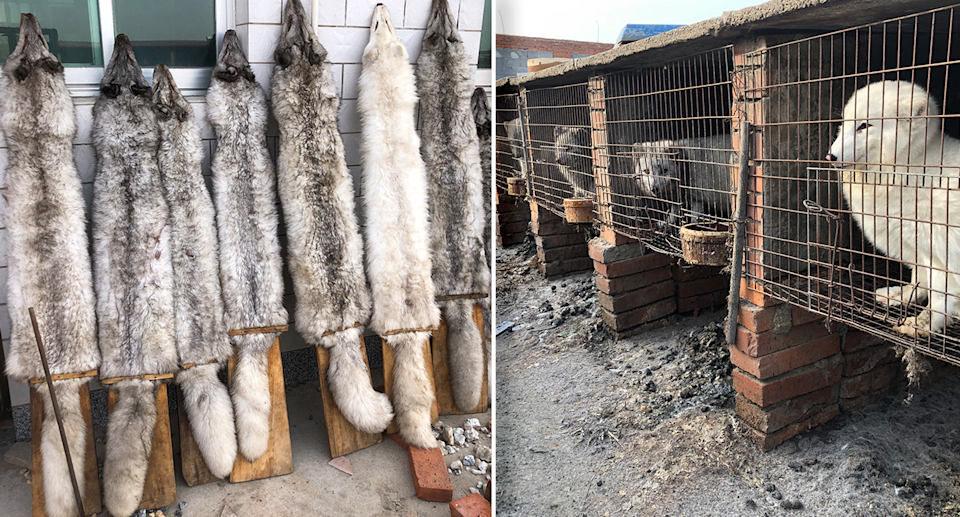 Animals were found to be living inside small wire cages before being slaughtered for their fur. Source: HSI