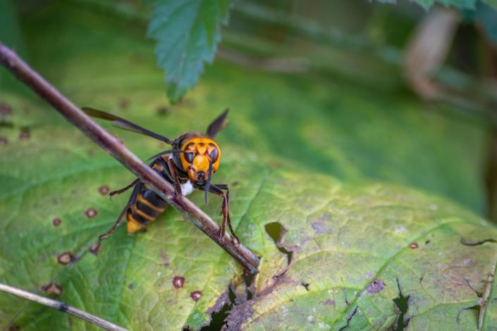 An Asian giant hornet seen in Washington state. / Credit: Washington State Dept. of Agriculture