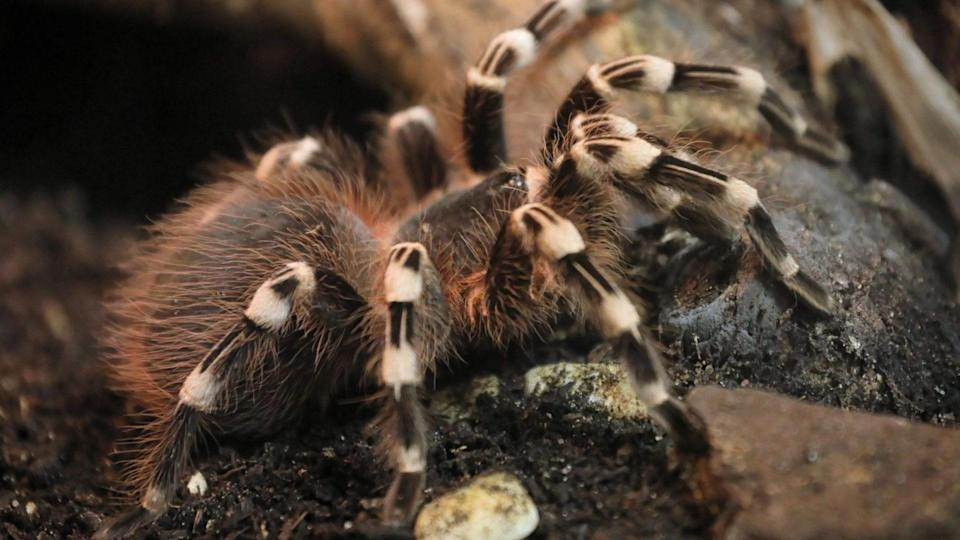 Mandatory Credit: Photo by Pawel Supernak/EPA-EFE/Shutterstock (11789854f)a Brazilian whiteknee tarantula (Acanthoscurria geniculata) is displayed at the exhibition of spiders and scorpions from all inhabited continents at the Palace of Culture and Science in Warsaw, Poland, 07 March 2021.